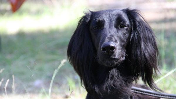 Тайган собака