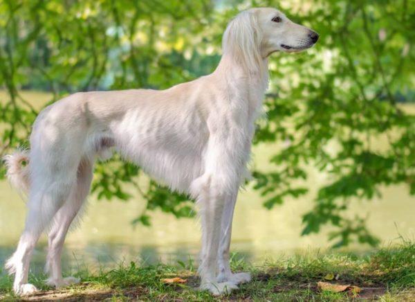 Тайган собака на природе