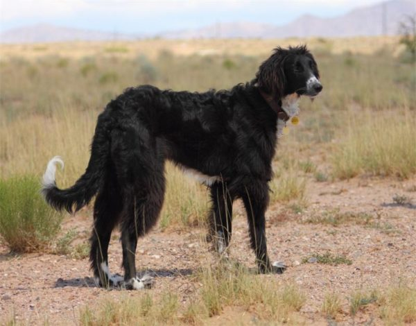 Тайган собака описание породы