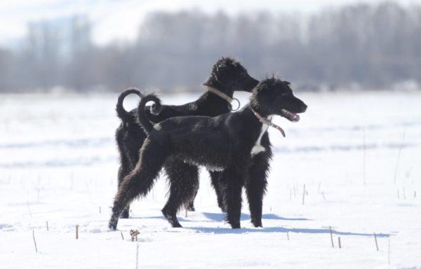 Тайган собака зимой