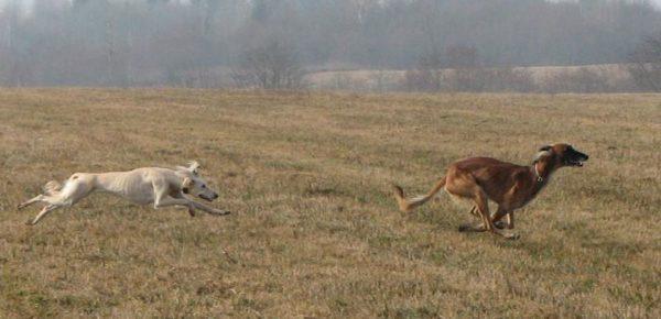 Тазы (порода собак) бежит