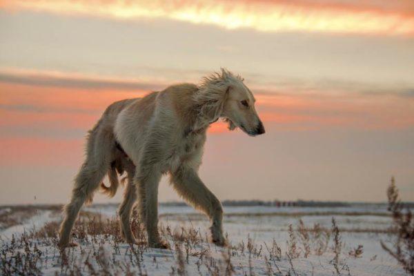 Тазы (порода собак)