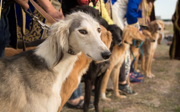 Тазы (порода собак) на природе