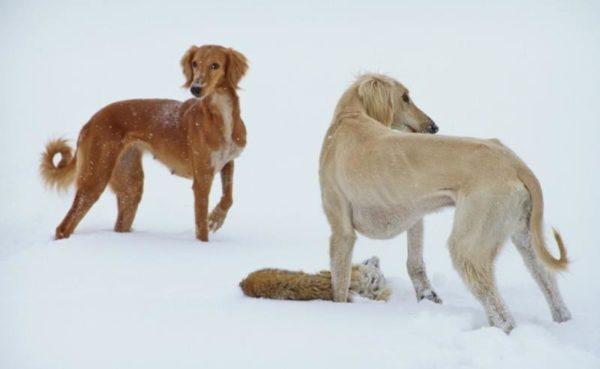 Тазы (порода собак) зимой