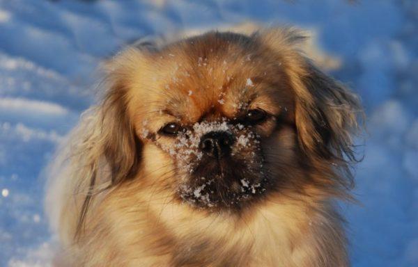 Тибетский спаниель в снегу