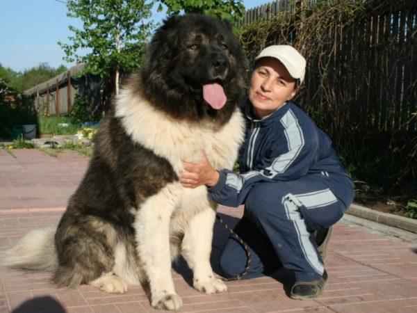 Чем кормить кавказскую овчарку