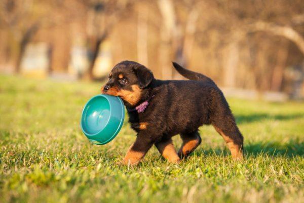 Чем кормить щенка ротвейлера