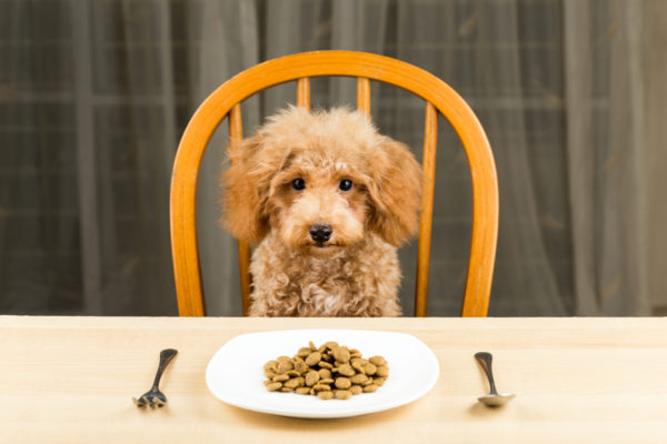 Кормление щенка пуделя и взрослой собаки