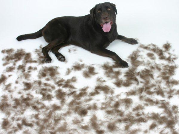 Почему собака линяет зимой