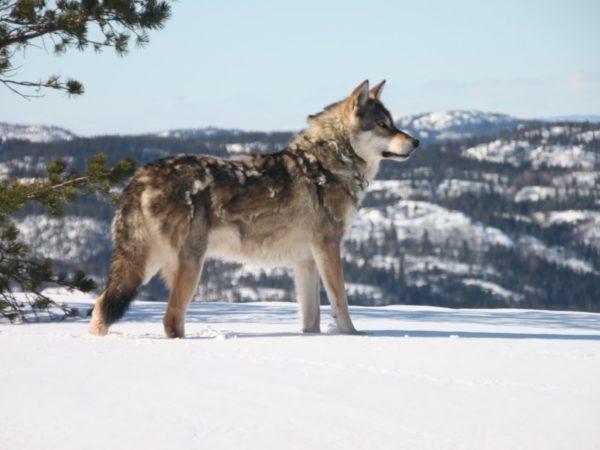 Почему собака линяет зимой. Выявляем причины