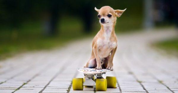 Чихуахуа на скейтборде