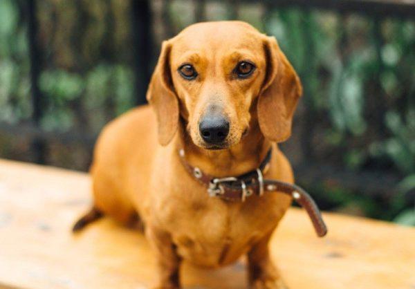 Дрессировка таксы щенка и взрослой собаки