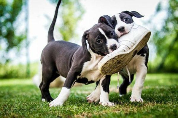 Как отучить собаку грызть обувь читайте статью