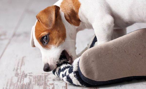 Как отучить собаку грызть обувь. Нюансы перевоспитания