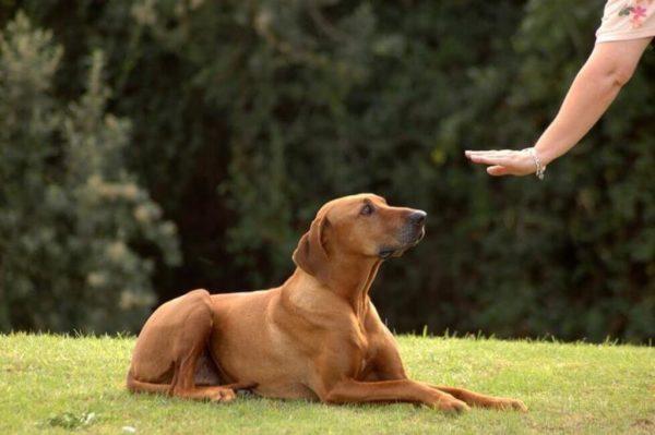 Как показать собаке что ты вожак читайте статью