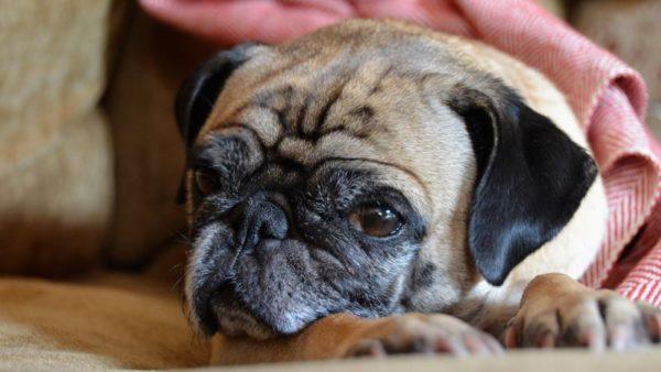 Как понять что собака умирает от старости