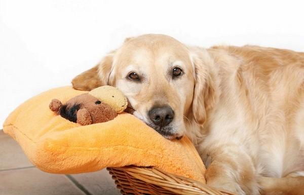 Как понять что у собаки течка. Этапы и цикличность, рекомендации