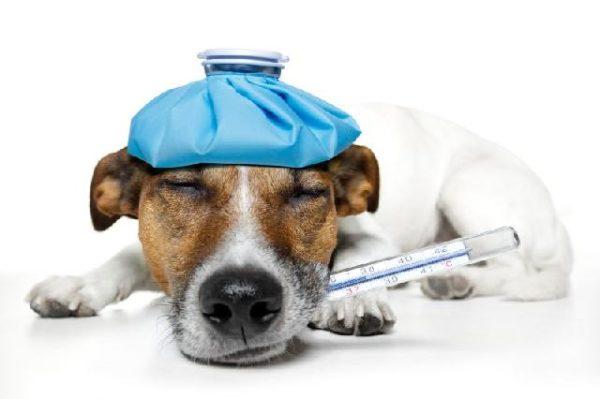 Как понять что у собаки температура