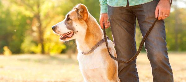 Как стать вожаком для собаки