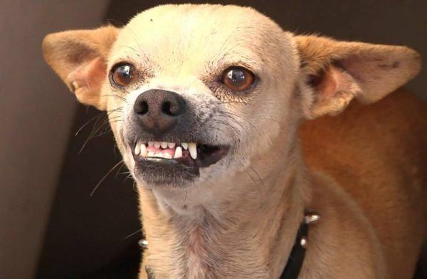 Как ухаживать за зубами чихуахуа
