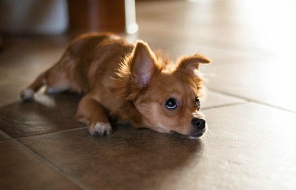 Почему маленькие собаки дрожат читайте статью