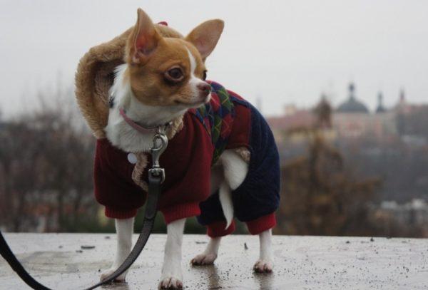 Почему маленькие собаки дрожат