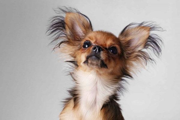 Почему маленькие собаки дрожат. Определяем причины