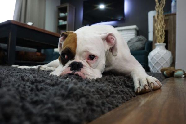 Почему от собаки пахнет псиной