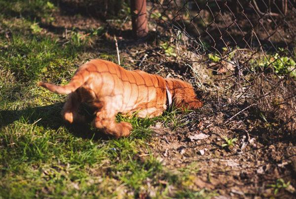 Почему собака роет ямы во дворе читайте статью