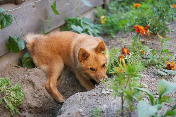 Почему собака роет ямы во дворе