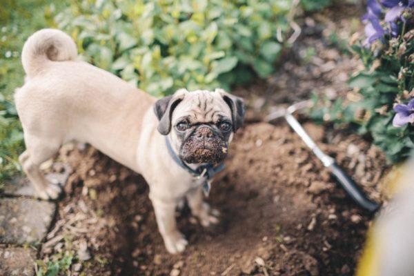 Почему собака роет ямы во дворе. Причины и способы их устранения