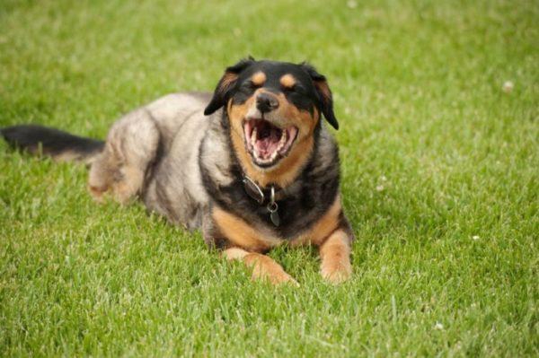 Почему возникают приступы обратного чихания у собаки