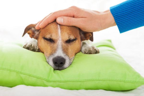Потеют ли собаки. Норма или симптом болезни.