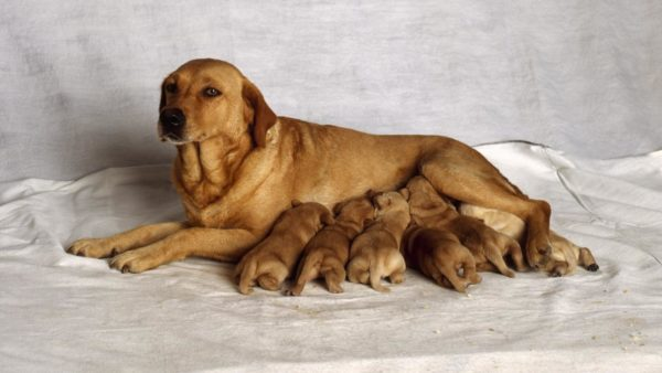 Преждевременные роды у собаки