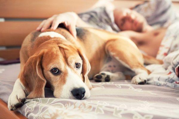 Собака спит на кровати с хозяином