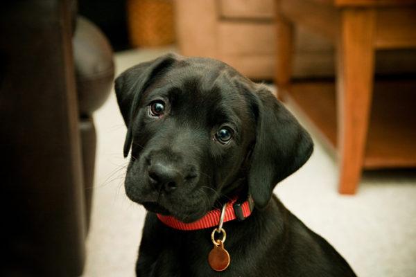 У собаки задержка течки. Болезнь или норма