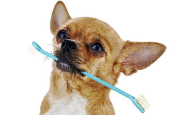 Все что нужно знать о зубах у Чихуахуа читайте статью