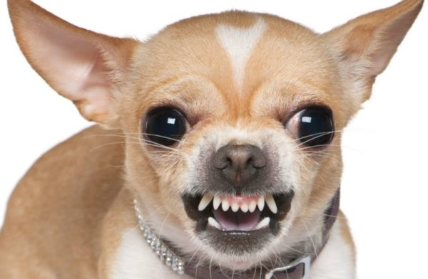 Все что нужно знать о зубах у Чихуахуа