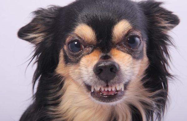 Зубы у Чихуахуа